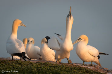 Helgoland – die Insel der Basstölpel und Robben