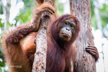 Borneos Orang Utans