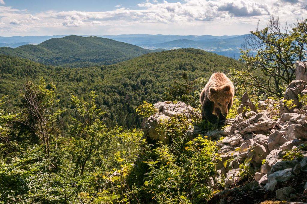 Bei der Entstehung dieses Fotos war ich nicht einmal selbst anwesend. Mein Ziel war es einen Bären in seinem Lebensraum zu zeigen. Man sollte sehen, dass er nicht in der Wildnis Alaskas lebt, sondern mitten im besiedelten Zentraleuropa. Auf dem Weg zu diesem Bild gab es unzählige Misserfolge und es hat Jahre gedauert bis es dann letztendlich funktioniert hat. Zu Beginn des Projekts hatte ich weder eine Ahnung davon wie man eine Fotofalle aufbaut, noch wusste ich viel über das Verhalten von Bären bei uns in Europa. Und irgendwann ist dann dieses Foto entstanden. Genau darum ist es für mich eines meiner erfolgreichsten Fotos.