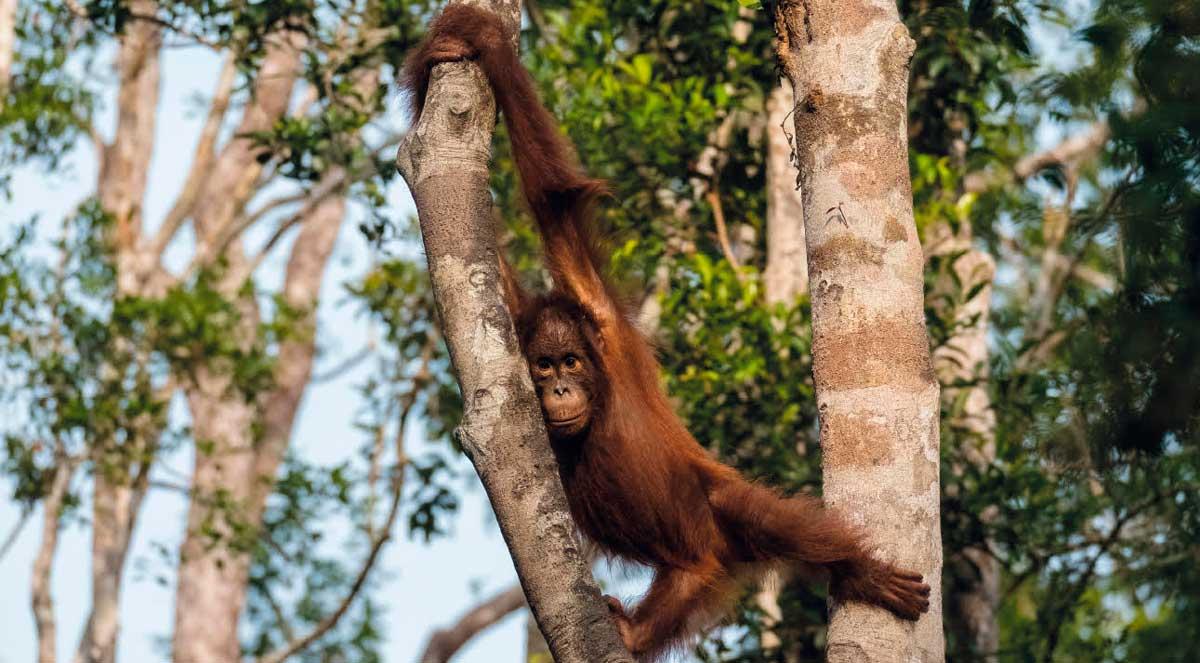 Orang Utans in Borneo - VTNÖ Magazin 2020