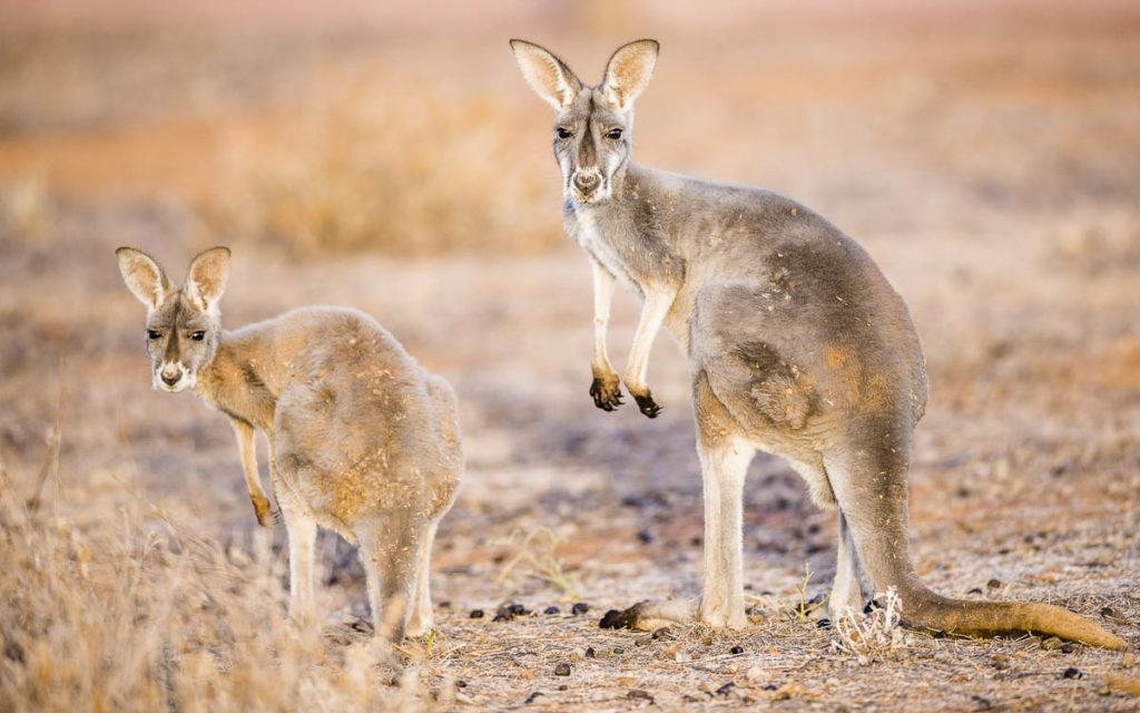 Red_Kangaroos