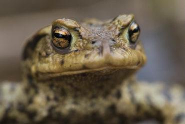Amphibische Wunderwerke – Erdkröten