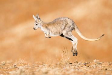 Kängurus aus Australien
