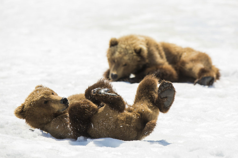 Kamtschatka – Braunbären im Frühsommer