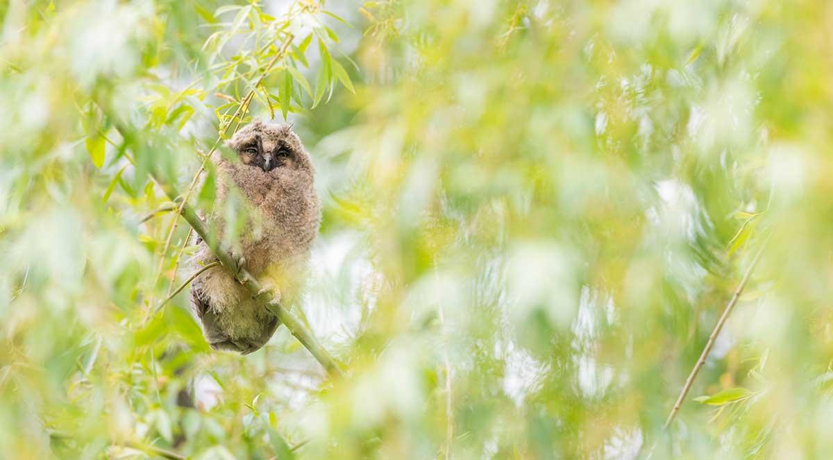 Waldohreulen - lautlose Jäger