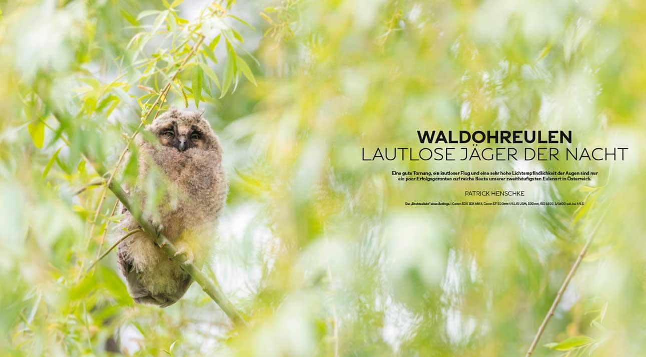 Waldohreulen im VTNÖ-Magazin Naturfotografie